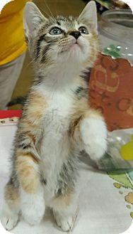 Domestic Shorthair Kitten for adoption in Alhambra, California - Maisy
