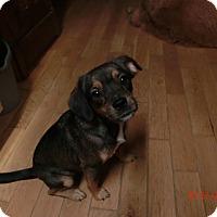 Adopt A Pet :: Pistol Annie - Glastonbury, CT