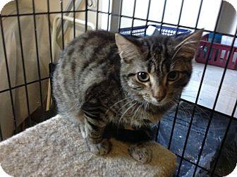 Domestic Shorthair Kitten for adoption in Colmar, Pennsylvania - Tetley