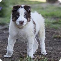Adopt A Pet :: Percy - San Diego, CA