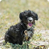 Norfolk Terrier/Dandie Dinmont Terrier Mix Puppy for adoption in La Jolla, California - Angie