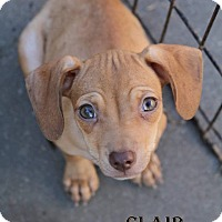 Adopt A Pet :: Clair - DeForest, WI