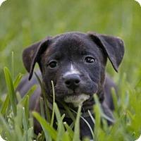Adopt A Pet :: Mia pup Havoc -16 ADOPTION PENDING - Lithia, FL