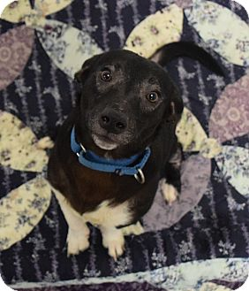 Rat Terrier/Beagle Mix Dog for adoption in Lisbon, Ohio - Michael