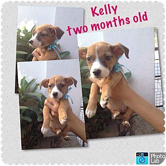 Rat Terrier/Dachshund Mix Puppy for adoption in LAKEWOOD, California - Kelly