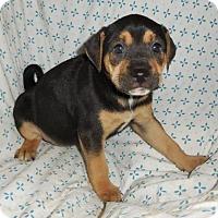 Adopt A Pet :: Chenille (Troll LItter) - Fairmont, WV