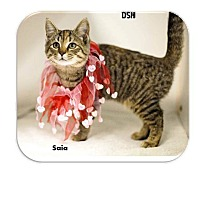 Domestic Shorthair Kitten for adoption in Washington, D.C. - Saia