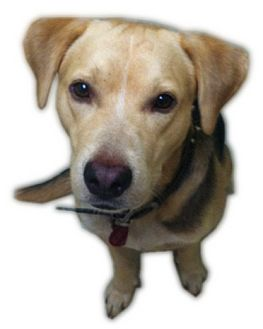 Labrador Retriever/Shepherd (Unknown Type) Mix Dog for adoption in Kingwood, Texas - Scooter