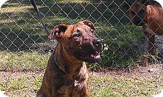 Mastiff/Pit Bull Terrier Mix Puppy for adoption in Odessa, Florida - JADA