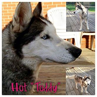 Husky Dog for adoption in Garden City, Michigan - Toddy
