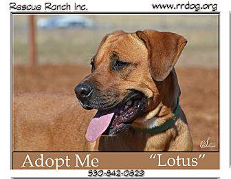Mastiff/Rhodesian Ridgeback Mix Dog for adoption in Yreka, California - Lotus