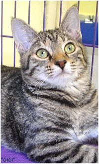 Domestic Shorthair Cat for adoption in Key Largo, Florida - Gigi