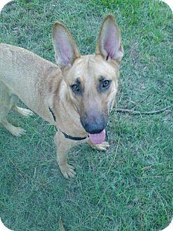 Shepherd (Unknown Type) Mix Dog for adoption in Boca Raton, Florida - Cody