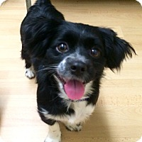 Adopt A Pet :: Sassy in Ct - Manchester, CT