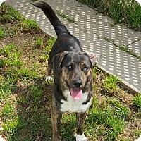 Adopt A Pet :: Dougie - san antonio, TX
