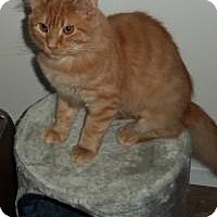 Domestic Longhair Cat for adoption in Ashland, Ohio - Hutch