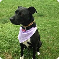Adopt A Pet :: Molly - Bedford, TX