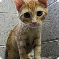 Adopt A Pet :: Summitt - Lexington, TN
