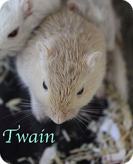 Gerbil for adoption in Bradenton, Florida - Twain