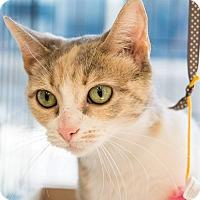Adopt A Pet :: Ivy - New York, NY