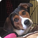 Adopt A Pet :: Ashley - Adoption Pending