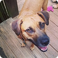 Rhodesian Ridgeback/Labrador Retriever Mix Dog for adoption in greenville, South Carolina - Brennan