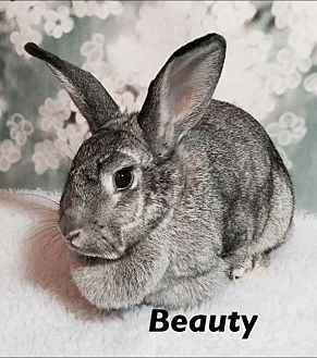 Chinchilla, American Mix for adoption in Auburn, California - Beauty