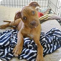 Adopt A Pet :: Rusty - New Braunfels, TX