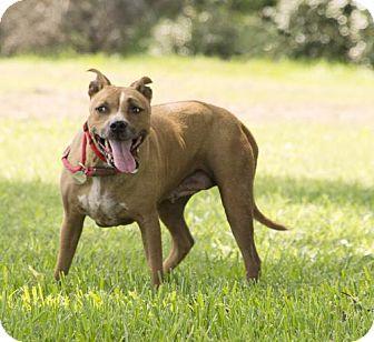 Boxer/Labrador Retriever Mix Dog for adoption in Vancouver, British Columbia - Binnie Barnes