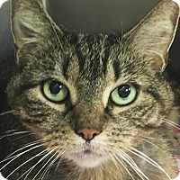 Domestic Shorthair Cat for adoption in Clayville, Rhode Island - Big Bertha