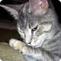 Domestic Shorthair Kitten for adoption in Franklin, West Virginia - Frosty