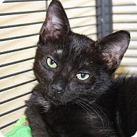 Domestic Shorthair Kitten for adoption in Sarasota, Florida - Classico