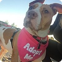 American Pit Bull Terrier Mix Dog for adoption in Fulton, Missouri - Maya - Massachusetts