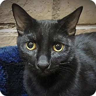 Domestic Shorthair Cat for adoption in Phoenix, Arizona - Prudence