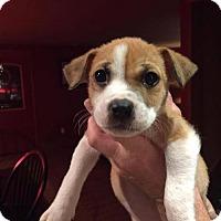 Hound (Unknown Type) Mix Puppy for adoption in Gilbertsville, Pennsylvania - Daya