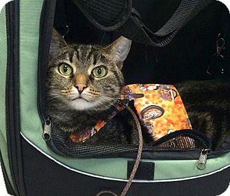 Domestic Shorthair Cat for adoption in Colorado Springs, Colorado - Riley