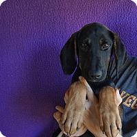 Adopt A Pet :: Fifi - Oviedo, FL