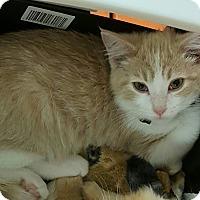 Adopt A Pet :: Amani - Irwin, PA
