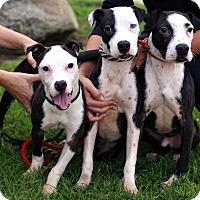 Adopt A Pet :: Inventor Puppies - Females - San Diego, CA
