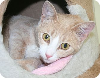 Domestic Shorthair Cat for adoption in Edmonton, Alberta - Tuck