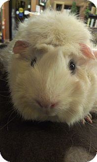 Guinea Pig for adoption in Pittsburgh, Pennsylvania - Blanche