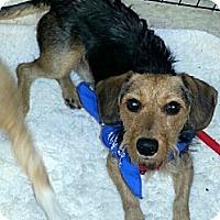 Adopt A Pet :: Nikko - Gilbert, AZ