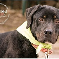 Labrador Retriever Mix Dog for adoption in Lago Vista, Texas - Jeremiah