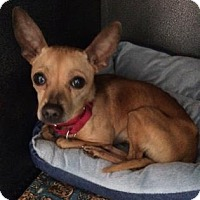 Adopt A Pet :: Brownie - Bradenton, FL