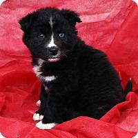 Adopt A Pet :: Dee Dee Border Aussiehoula - St. Louis, MO