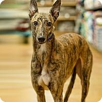 Adopt A Pet :: Amy - Aurora, IN