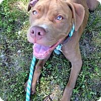 Adopt A Pet :: Gunner - Troy, MI