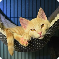 Domestic Shorthair Kitten for adoption in Tomball, Texas - Toto