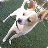Chihuahua Mix Dog for adoption in Chula Vista, California - Rollo