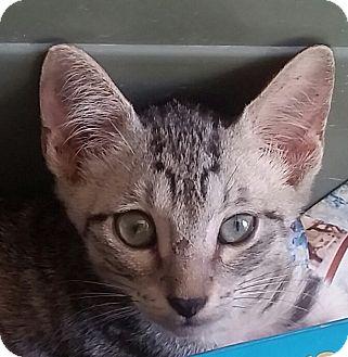 Abyssinian Kitten for adoption in Ocala, Florida - Sinian